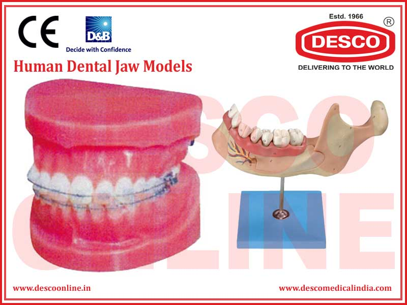 HUMAN DENTAL JAW MODELS