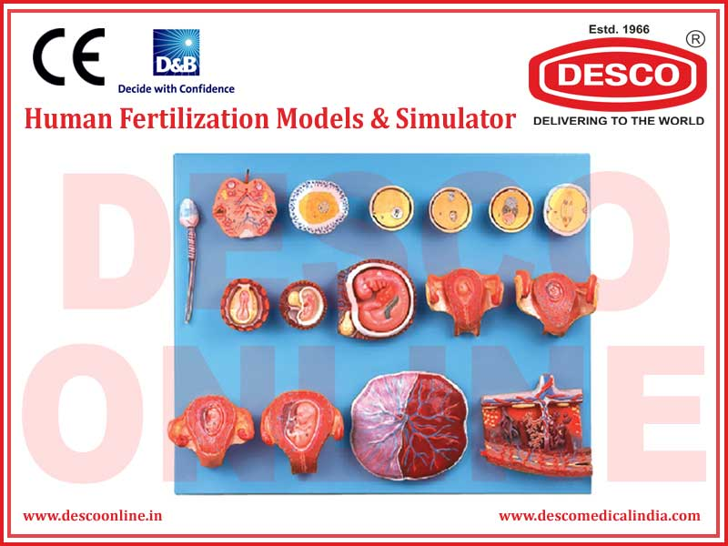 HUMAN FERTILIZATION MODELS & SIMULATOR
