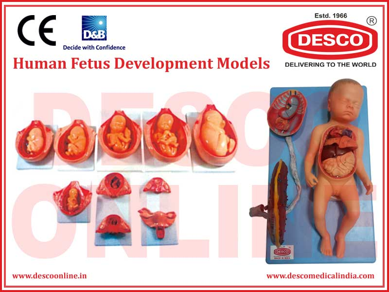 HUMAN FETUS DEVELOPMENT MODELS