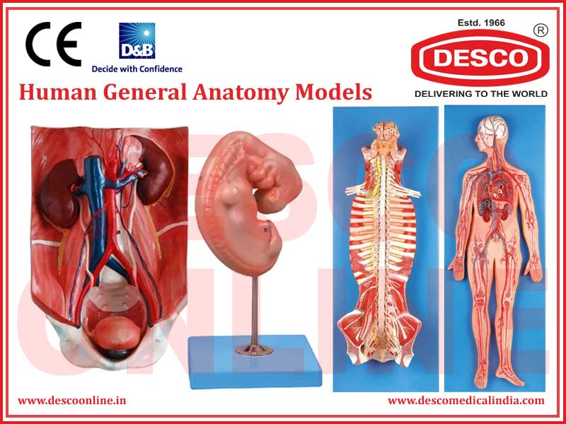HUMAN GENERAL ANATOMY MODELS