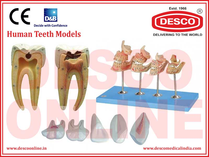 HUMAN TEETH MODELS