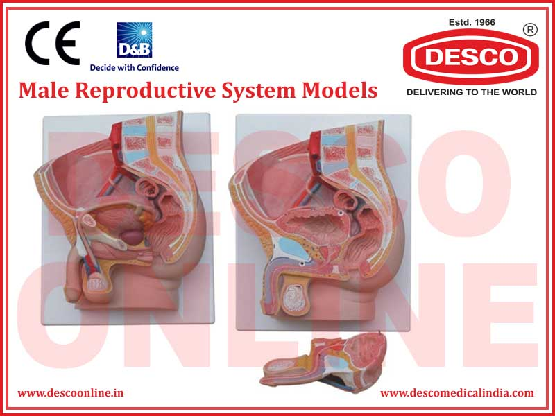 MALE REPRODUCTIVE SYSTEM MODELS